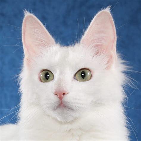 fotos de gatos gatos angora gemelos jpg pictures to pin on pinterest gato angora www imgkid com the image kid has it