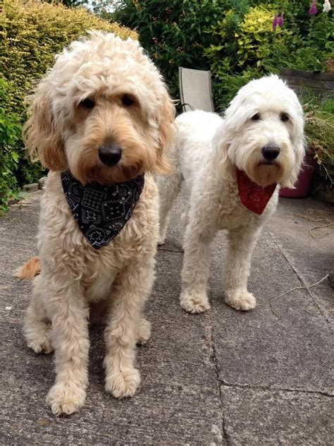 goldendoodle puppy wanted high quality goldendoodle health tested stud prestatyn