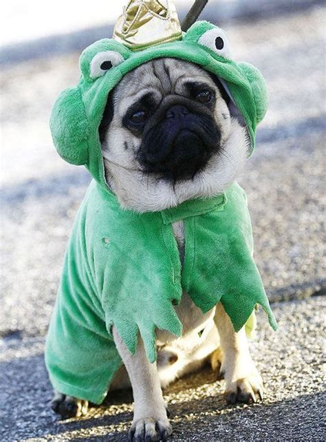 pug frog costume 17 best images about pugs in costumes d on a pug spock and pug