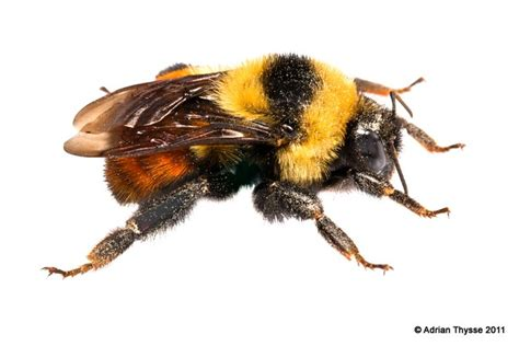 18 best bumblebee images on pinterest bumble bees bees