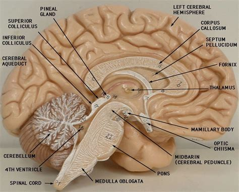 17 best images about other structures on pinterest sri inner ear anatomy model labeled 17 best images about a p 3