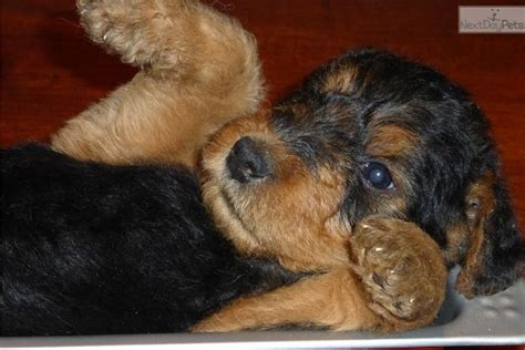 local puppies for sale local airedale puppies for sale breeds picture