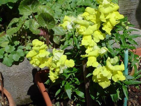 bocca di lupo fiore bocca di fiore piante annuali caratteristiche