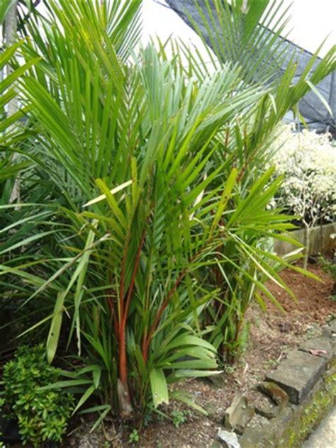 Bibit Tanaman Palm Merah palm merah jual tanaman hias jual desain landscape