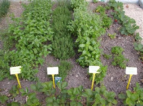 planting an herb garden medicinal herb garden what to grow and how to keep it