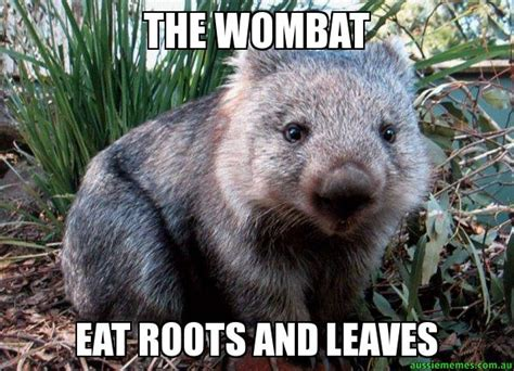 Wombat Memes - the wombat eat roots and leaves aussie icon wombat