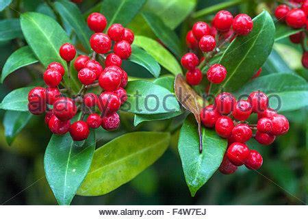 Baum Mit Roten Bl Ttern 136 by Immergr 252 Ner Strauch Mit Roten Beeren Gt Gt Immergr 252 Ner