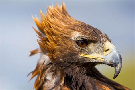 with eagles mongolia travel guide horseback