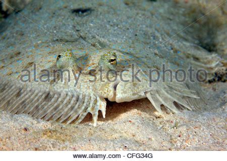 peacock flounder (bothus lunatus) resting on the seabed