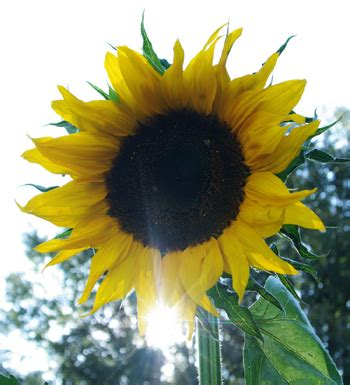 hopi black dye sunflower seeds sunflower hopi black dye helianthus annuus packet of 30 seeds organic strictly medicinal