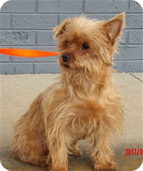 10 lb yorkie niagara falls ny yorkie terrier terrier unknown type small mix meet