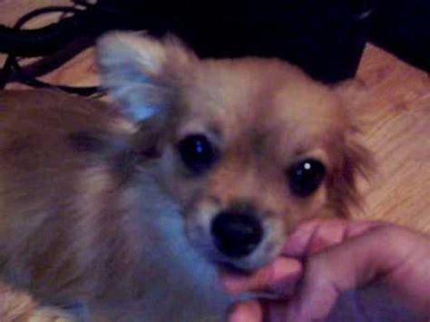 mini spitz vs pomeranian winner of week 8 of cutest competition breed pomeranian chihuahua mix funnydog tv