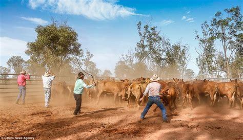 australian cattle cowboys photographer captures australia s stockmen transporting