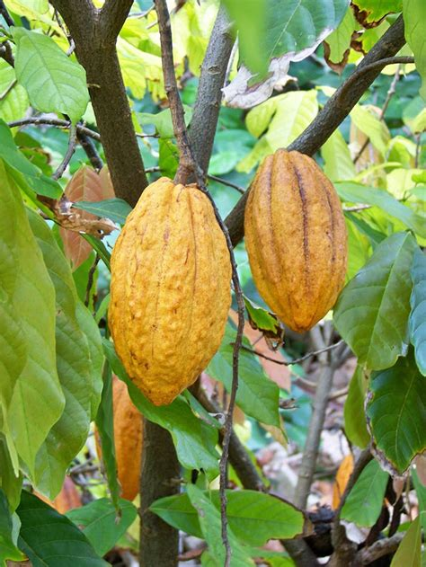 best cacao 37 best images about theobroma cacao on trees