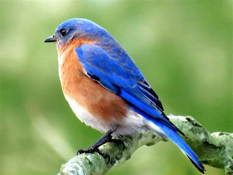 panoramio photo of bright blue of an eastern bluebird