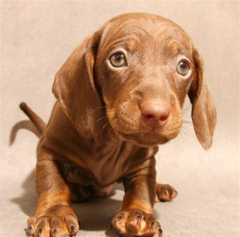 imagenes abstractas de un perro foto de un cachorro perro salchicha imagenes de perros