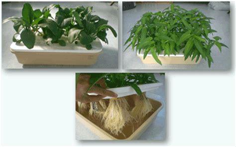Jual Benih Kangkung Curah cara hidroponik kangkung tanamanbaru