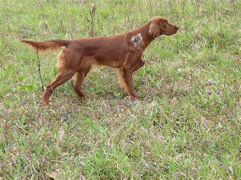 red setter gun dog my blind cat just snatched a finch right of of the air pics