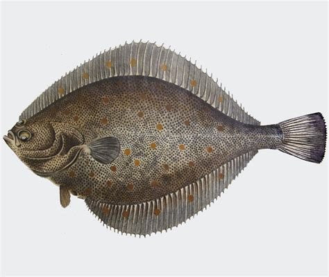 cucinare platessa specie ittiche in cucina platessa pleuronectes platessa