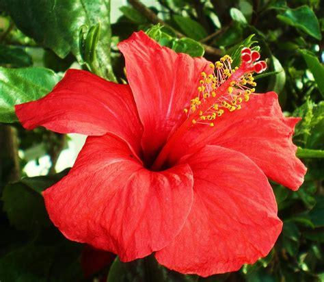 fiore ibiscus hibiscus