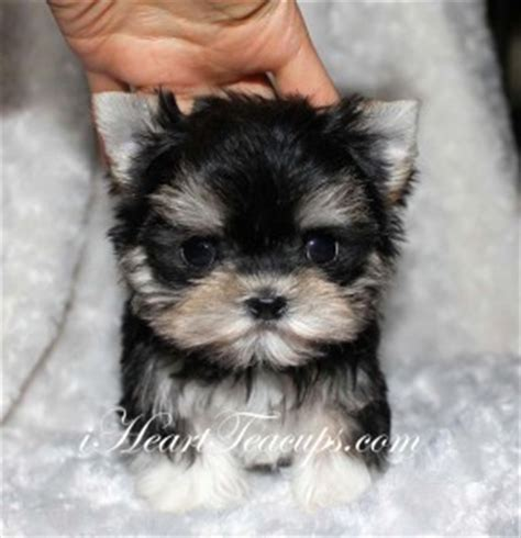 half yorkie half maltese for sale teacup puppy pictures