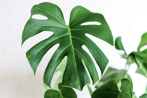 monstera care how to grow and care for a monstera deliciosa or swiss cheese plant better homes and gardens
