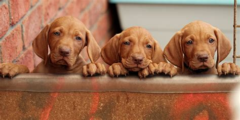 vizsla puppies for sale az dachshund puppies for sale