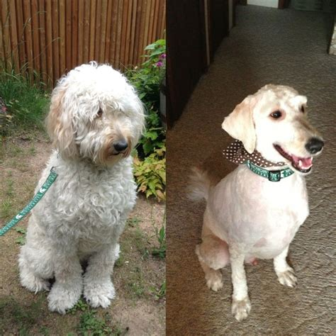 goldendoodle puppy grooming goldendoodle before after haircut d grover doodle