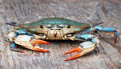 27 best images about blue crabs on pinterest crabs blue crab callinectes sapidus arroyo city news