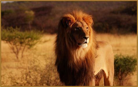 imagenes leones para niños imagenes para fondo de pantalla de leones preciosos