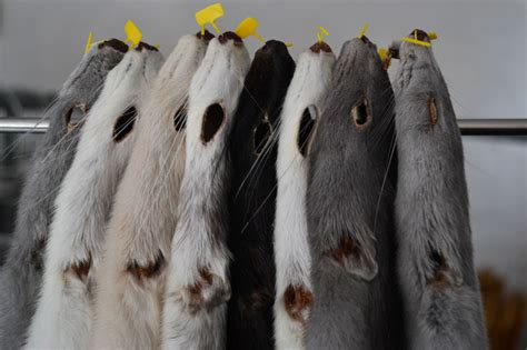 mink color mink on the brink the troubles facing fur farmers in