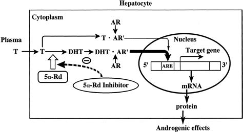 foods that block the 5 alpha reductase enzyme preventive effect of fk143 a 5α reductase inhibitor on