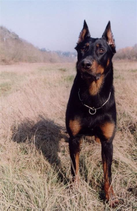 rottweiler with cropped ears berger de beauce beauceron black cropped ears fci g1
