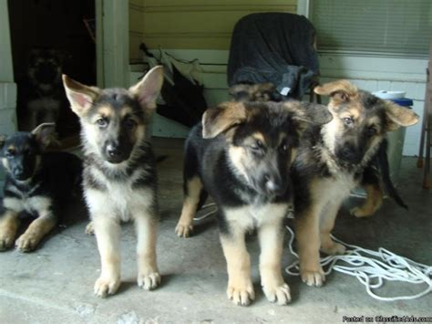 german shepherd puppies price german shepherd puppies cost