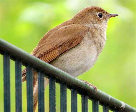 displaying nightingale bird pictures on animal picture society