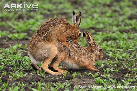 animal mating rabbit cat bunny cat mate brown hare photo lepus europaeus a21612 arkive