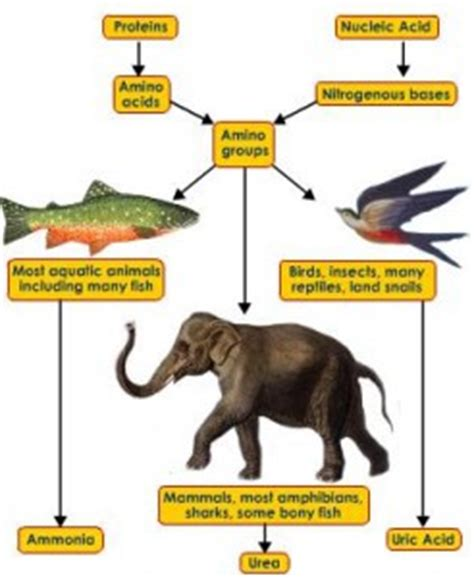 carbohydrates normally function in animals as excretory system ap biology systems
