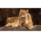 Momma Lion 4K Wallpaper  Free