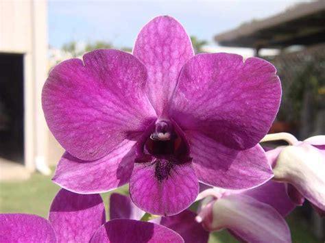 Dendrobium Airy Gold dens list