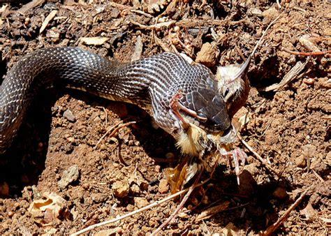 Garden Snake Eat Mice Black Rat Snake Bird Flickr Photo
