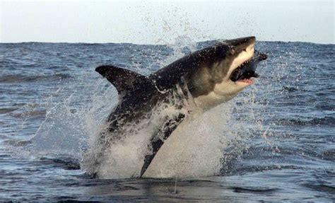 quanto vive un gabbiano cinque cose non sapete dello squalo bianco delle sue