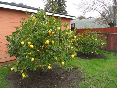 backyard lemon tree mavis mail april from santa cruz california sends in