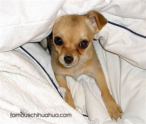 what age can puppies go outside meet the adorable chihuahua puppy from kelowna b c canada chihuahua