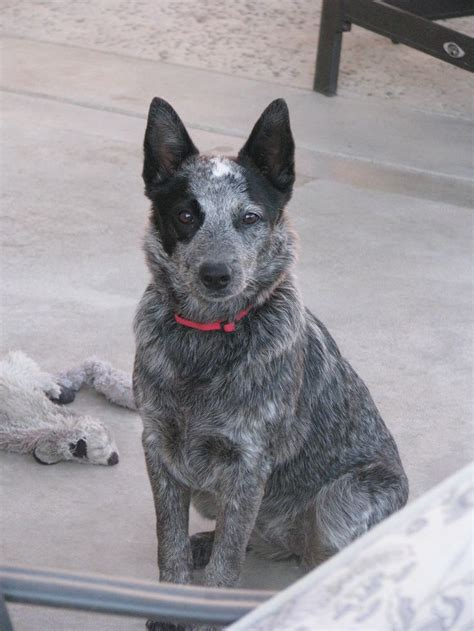 qld blue queensland heeler puppies pictures to pin on