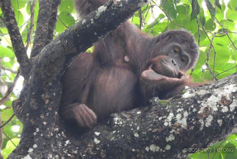 Bos Steering Relly Atas Bawah bos orangutan release update expectant mothers meklies ebol getting ready to give birth