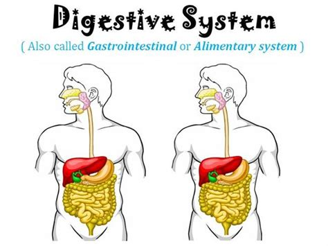 Human Digestive System Animation Ppt Digestive System Powerpoint