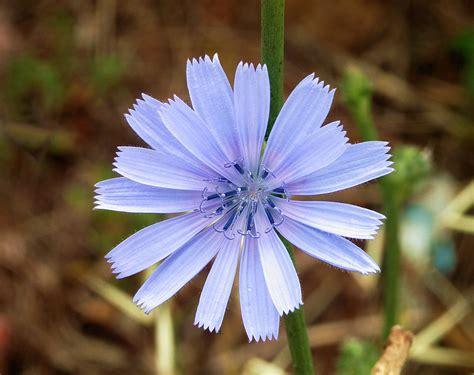 fiori di pensiero fiori di bach preoccupazione archivi pensiero distillato