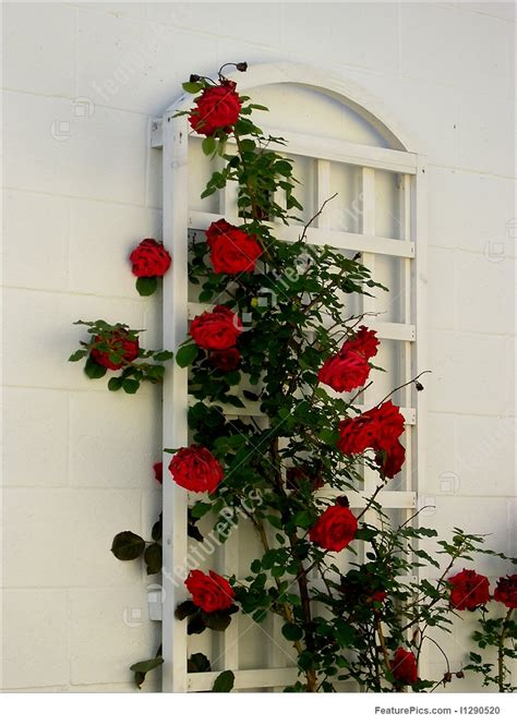 rose bush decoration stock image   featurepics