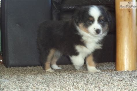 australian shepherd puppies for sale in michigan miniature australian shepherd puppy for sale near central michigan michigan