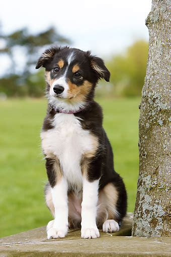 tricolor border collie puppy border collie tricolor www pixshark images galleries with a bite